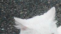 白猫の画像です